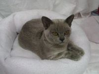 Our Whobegotyou at the Newcastle & HV Cat Club Show on 2 May 2009 - 1st Top 5 in Ring 1.  His and Angel's mum is Kristal