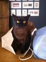 Coco in training as a shopper. He is first born kitten to Dusky Rose